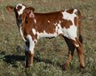 Kallos 18 Heifer